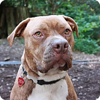 Pit Bull Terrier Mix Dog for adoption in Seattle, Washington - Hunter