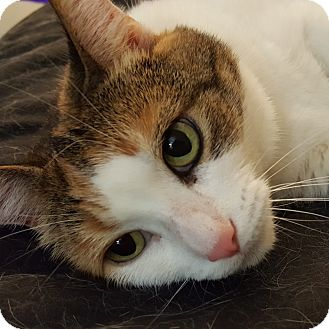 Domestic Shorthair Cat for adoption in Toronto, Ontario - Mira