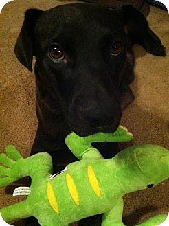 Labrador Retriever Dog for adoption in Jay, New York - Jilly