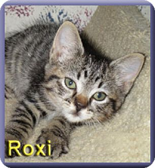 Domestic Shorthair Kitten for adoption in Aldie, Virginia - Roxi