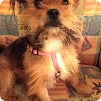 Adopt A Pet :: Pepper - Clearwater, FL