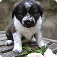 Adopt A Pet :: Aladdin - La Habra Heights, CA