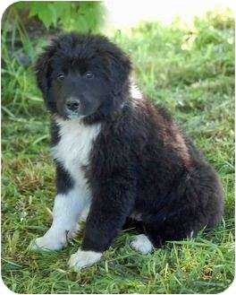 Ace Deuce Amp Trey Adopted Puppy Mora Mn Old English Sheepdog Newfoundland Mix