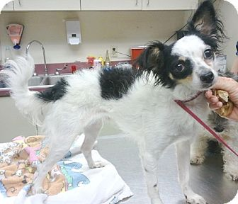 Papillon/Poodle (Miniature) Mix Dog for adoption in Orlando, Florida - Trotter