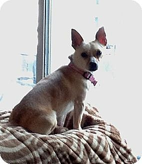 Chihuahua/Miniature Pinscher Mix Dog for adoption in Hewitt, New Jersey - Kamali