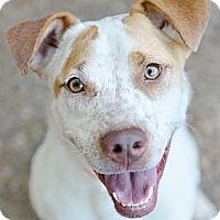 Adopt A Pet :: Sammie Girl - Atlanta, GA