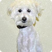 Adopt A Pet :: Clooney - Port Washington, NY