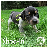 Adopt A Pet :: Shoo-In - Novi, MI