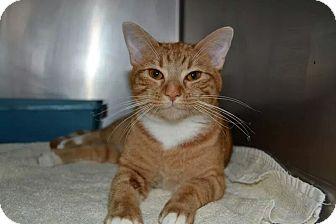 Domestic Shorthair Cat for adoption in Fort Riley, Kansas - Little Nicki