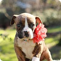 Adopt A Pet :: Petunia - Loomis, CA
