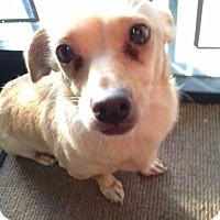 Corgi Mix Dog for adoption in Fresno, California - Bucky