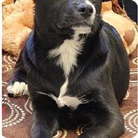 Adopt A Pet :: Dabney - Carteret/Eatontown, NJ