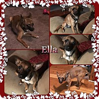 Adopt A Pet :: Ella meet me 4/15 - Manchester, CT
