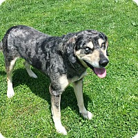 Adopt A Pet :: Blue - Moberly, MO