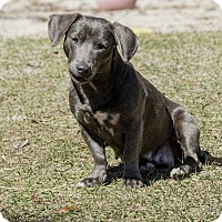 Adopt A Pet :: Patience - Weeki Wachee, FL