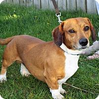 Adopt A Pet :: SImba - Shelby, MI