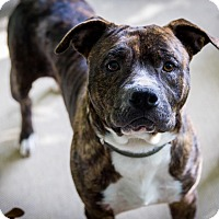 Pit Bull Terrier Mix Dog for adoption in Nashville, Tennessee - Forrest