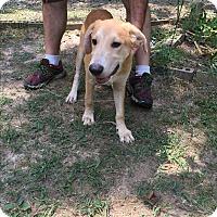 Adopt A Pet :: Griffon - Haggerstown, MD