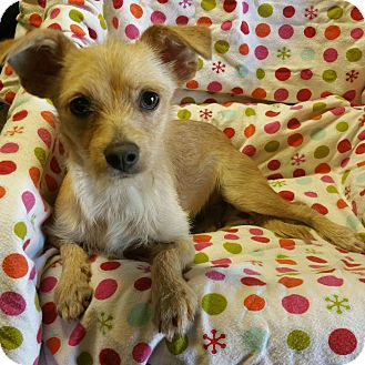 Terrier (Unknown Type, Small) Mix Puppy for adoption in Los Angeles, California - Fantasia