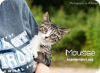 Domestic Shorthair Kitten for adoption in Kansas City, Missouri - Mousse