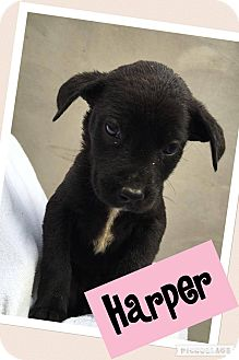 Labrador Retriever Mix Puppy for adoption in Brattleboro, Vermont - Harper