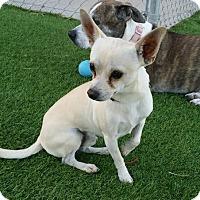 Adopt A Pet :: Ricky Nelson - Las Vegas, NV