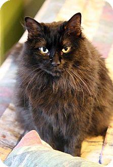 Domestic Mediumhair Cat for adoption in Dallas, Texas - Kimi