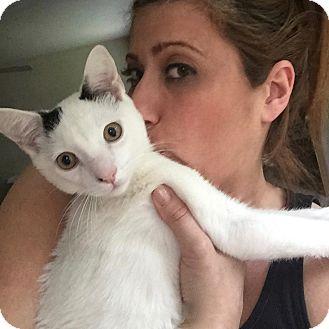 Domestic Shorthair Cat for adoption in Long Beach, New York - Johnny Walker