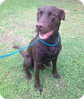 Labrador Retriever Dog for adoption in Temecula, California - Porter