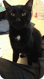 Domestic Shorthair Cat for adoption in Rochester, Minnesota - Diamond