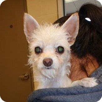 Terrier (Unknown Type, Medium)/Terrier (Unknown Type, Medium) Mix Puppy for adoption in Apple Valley, California - Scout #162374
