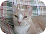Domestic Shorthair Cat for adoption in New York, New York - Stewie