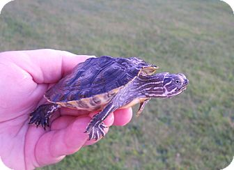 Turtle - Water for adoption in Baltimore, Maryland - River Cooter