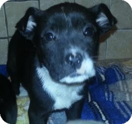 Border Collie/Boxer Mix Puppy for adoption in Chicago, Illinois - Brock*ADOPTED!*