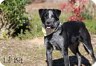 Australian Cattle Dog/Australian Shepherd Mix Dog for adoption in Wilmington, Delaware - Lil' Bit