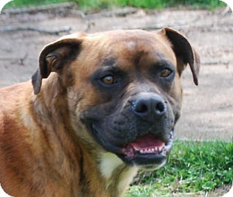 Boxer Dog for adoption in Providence, Rhode Island - Tyson