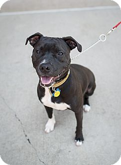 labrador retriever terrier mix natalie adopted dog birmingham mi boston terrier 1318