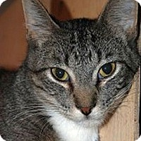 Domestic Shorthair Cat for adoption in Marion, Wisconsin - Nip