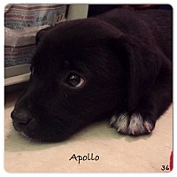 Adopt A Pet :: Apollo - Miami, FL