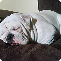 Adopt A Pet :: Chimmy - Park Ridge, IL