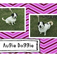 Adopt A Pet :: Augie Doggie - Graford, TX