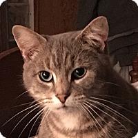 Adopt A Pet :: Tiger - Naperville, IL