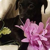 Adopt A Pet :: Holly - Newark, DE
