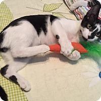 Domestic Shorthair Kitten for adoption in Sarasota, Florida - Kyle