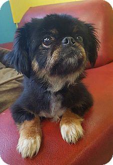 Pekingese Mix Dog for adoption in Mooresville, North Carolina - Coconut