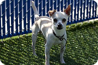 Chihuahua Mix Dog for adoption in Chula Vista, California - Robert