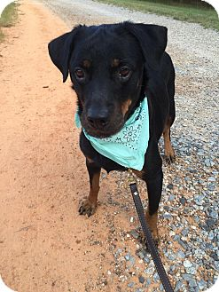 Rottweiler Dog for adoption in Pittsgrove, New Jersey - MADDIE - DONATE