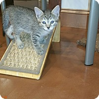 Adopt A Pet :: Abby Tabby - Grand Junction, CO