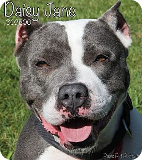 American Staffordshire Terrier/Terrier (Unknown Type, Medium) Mix Dog for adoption in Troy, Michigan - Daisy Jane