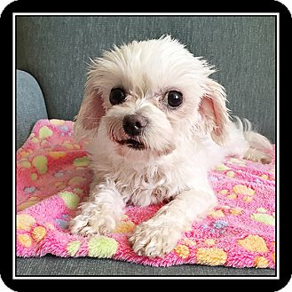Maltese Dog for adoption in San Diego, California - Sadie